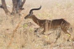 跑在乌干达savan的高干草中的男性羚羊kob 库存图片