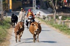 跑在乡下的母牛 免版税库存图片