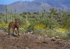 跑在亚利桑那沙漠的狗 免版税库存图片
