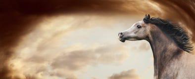 跑在令人敬畏的剧烈的天空背景的良种阿拉伯马 有开发的鬃毛的,横幅马头 库存照片