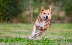 跑在全速的愉快的狗 免版税库存图片