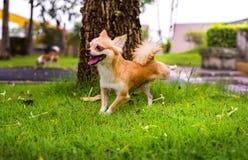 跑在公园的奇瓦瓦狗狗 库存图片