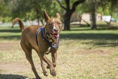 跑在公园的愉快的狗 免版税库存照片
