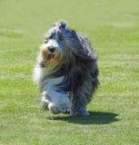 跑在公园的护羊狗 免版税库存图片