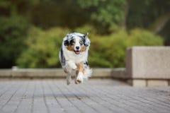 跑在公园的澳大利亚牧羊犬 免版税库存照片