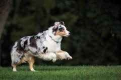 跑在公园的澳大利亚牧羊犬 免版税库存图片