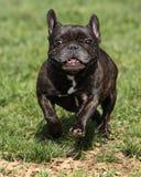 跑在公园的烟草花叶病的法国牛头犬 免版税图库摄影