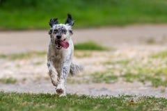 跑在公园的狗 库存照片