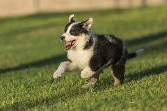 跑在公园的逗人喜爱的得克萨斯Heeler小狗 免版税库存照片