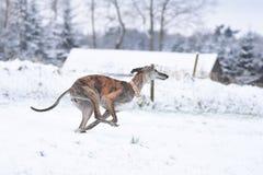 跑在冬天期间的烟草花叶病的Galgo 免版税库存照片