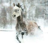 跑在冬天的华美的阿拉伯马 库存照片