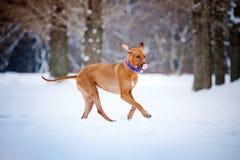 跑在冬天的可爱的Rhodesian Ridgeback狗 免版税图库摄影