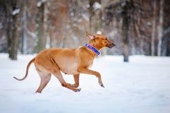 跑在冬天的可爱的Rhodesian Ridgeback狗 免版税库存图片