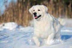 跑在冬天的愉快的金毛猎犬狗 免版税库存照片
