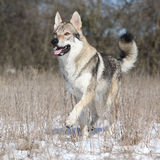 跑在冬天的捷克斯拉夫的wolfdog 库存照片