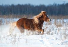 跑在冬天的舍特兰群岛小马 免版税库存照片