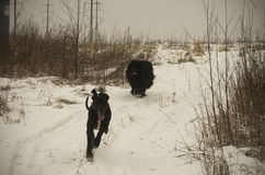 跑在冬天雪的两条狗在晚上 库存照片