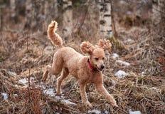 跑在冰冷的森林道路的标准长卷毛狗春天 库存图片