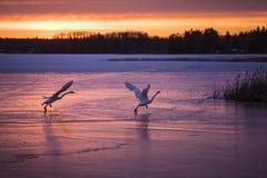 跑在冰的两只天鹅,离开对天空 免版税库存图片