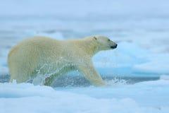 跑在冰的北极熊用水 极性在北极俄罗斯涉及流冰 北极熊在有雪的自然栖所 Po 免版税库存照片