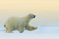 跑在冰的北极熊用水,在流冰在北极俄罗斯 北极熊在有雪的自然栖所 大动物wi 免版税库存图片