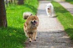 跑在国家道路的两条狗 库存图片