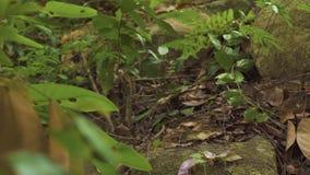 跑在地面和分支的野生鬣鳞蜥在雨林鬣鳞蜥蜥蜴在野生密林森林爬行动物动物本质上 股票录像