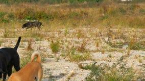 跑在城市之外的荒原附近的狗群  股票视频