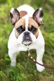 跑在夏天的滑稽的英国牛头犬 免版税图库摄影