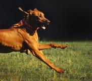 跑在夏天的Rhodesian Ridgeback狗 免版税库存图片