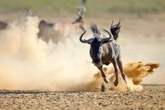 跑在多灰尘的平原的蓝色角马 免版税库存图片