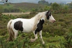 跑在它吃草的欧石南丛生的荒野的一美丽的马马属ferus caballus的一个风景看法 免版税库存图片