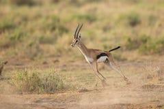 跑在安博塞利国家公园,肯尼亚的男性汤普森的瞪羚 库存图片