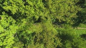 跑在小径的体育人空中顶面下来在绿色森林里 股票视频
