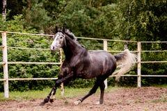 跑在小牧场的愉快的灰色马在夏天 免版税库存照片