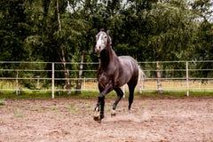 跑在小牧场的愉快的灰色马在夏天 库存图片