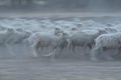 跑在尘土的绵羊牧群  免版税库存照片