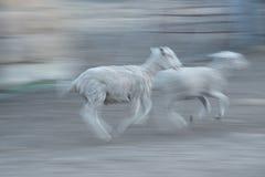 跑在尘土的羊羔 免版税库存图片