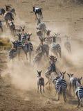 跑在尘土肯尼亚的小组斑马 坦桑尼亚 国家公园 serengeti 马赛马拉 免版税库存图片