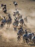 跑在尘土肯尼亚的小组斑马 坦桑尼亚 国家公园 serengeti 马赛马拉 库存图片