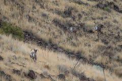 跑在山坡的比格霍恩公羊 免版税库存图片