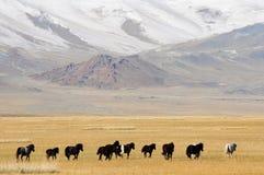 跑在山的蒙古马在鹫节日期间 库存照片