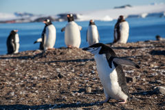 跑在岸的gentoos,南Shet中的Chinstrap企鹅 免版税库存照片