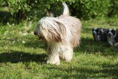 跑在庭院里的有胡子的大牧羊犬 库存照片