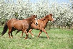 跑在开花的树前面的两匹短距离冲刺的马 免版税库存照片