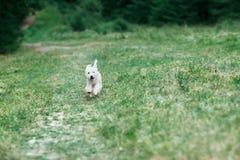 跑在往照相机的绿色领域的白色逗人喜爱的狗 图库摄影