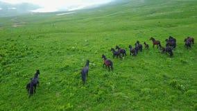 跑在春天狂放山的自然的草甸空中飞行的野马牧群 股票视频