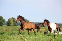 跑在有狗的牧场地的二匹马 库存照片