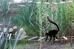 跑在桥梁的黑狐猴 库存图片