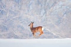 跑在森林背景的雪的一头鹿。 免版税库存图片